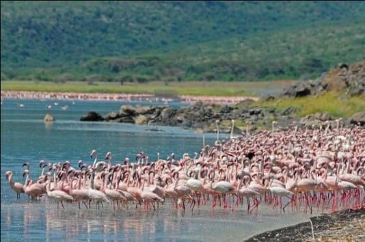 lake nakuru flamingoes