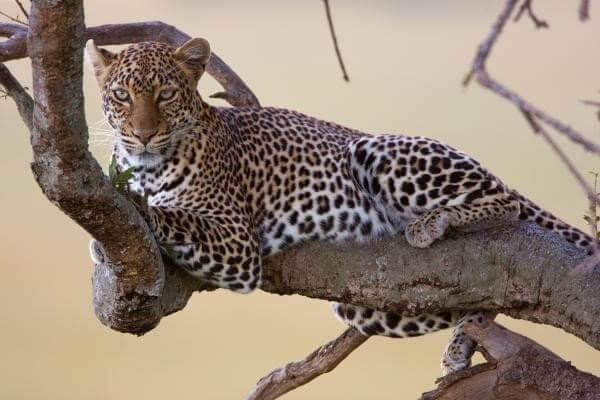 leopard relax