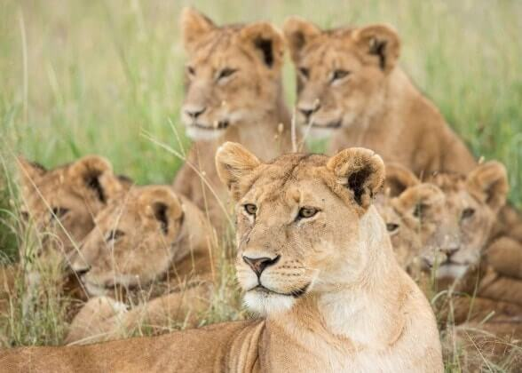 africa pride of lions
