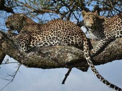 leopards of masai Mara
